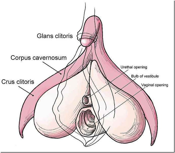 687px-Clitoris_anatomy_labeled-en